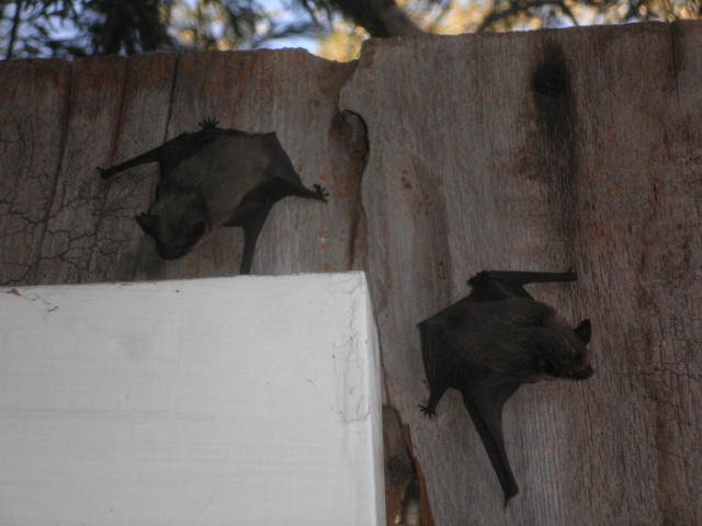 "BROWN ""BAT"" VIOLATIONS CONTINUE"