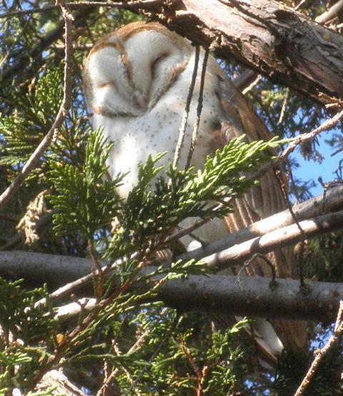 Dec 17 2011 Owl